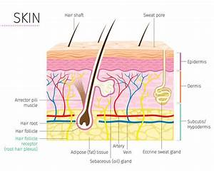 Human Anatomy  Skin And Hair Diagram Stock Vector