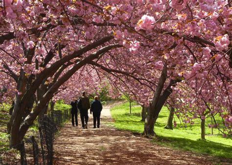 cherry blossom  central park sopa de pato