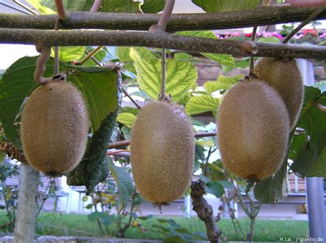 Kiwi › Pflege Pflanzen, Düngen & Schnitt