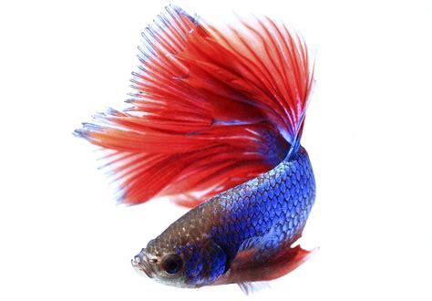 lifespan  betta fish