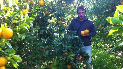 Campos de cultivo de naranjas valencianas ecológicas ...