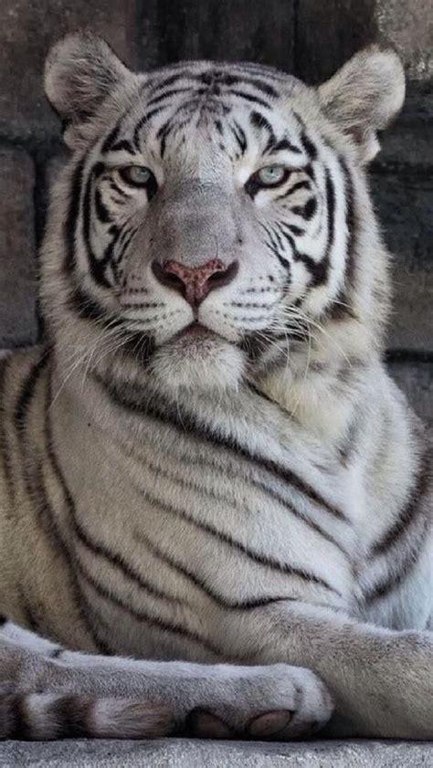 White Tiger Tigr Animals Beautiful Big Cats Siberian