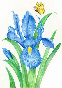 Blue Iris & Butterfly Nature Colored Pencil Drawing