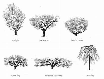 Hazel Witch Tree Trees Yard Shrubs Illustration
