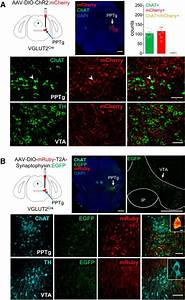 Activation Of Pedunculopontine Glutamate Neurons Is Reinforcing