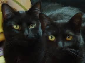 black cats for black cat appreciation day the creative cat