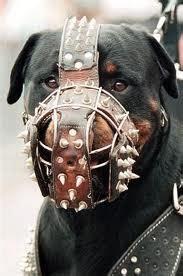 kampfhunde  sind sie wirklich tiere hund pitbull