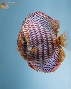 Die Besten Aquarien : die besten 25 diskus aquarium ideen auf pinterest ~ Lizthompson.info Haus und Dekorationen