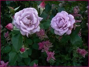 Mainzer Fastnacht Rose : edelrose mainzer fastnacht edelrose mainzer fastnacht rosa mainzer fastnacht edelrose 39 ~ Orissabook.com Haus und Dekorationen