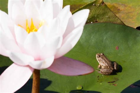picture nature frog lotus leaf horticulture