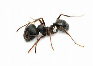 Pavement Ant   Pest Control Services – GreenLeaf Pest ...