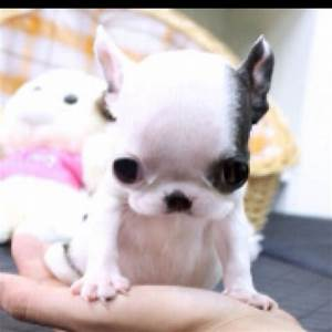 Teacup French Bulldog!!! So cute!! | Teacup French Bulldog ...