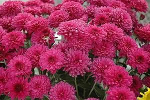 Dendranthema Hybride Balkon : beth chrysanthemum chrysanthemum 39 beth 39 in richmond ~ Lizthompson.info Haus und Dekorationen