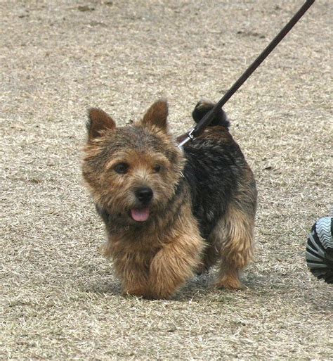 Cairn Terrier Shed Hair by Norwich Terrier Les Animeaux Cornish Hens