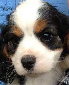 Cavapoo Rescue Puppies for Adoption