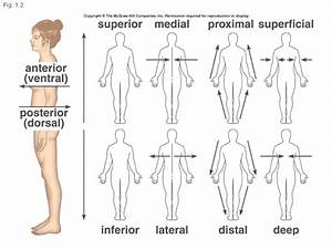 What do posterior, medial, proximal, peripheral, and ...  Superficial