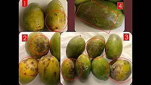 Chilling Injury Symptoms in Mango Fruits | Request PDF