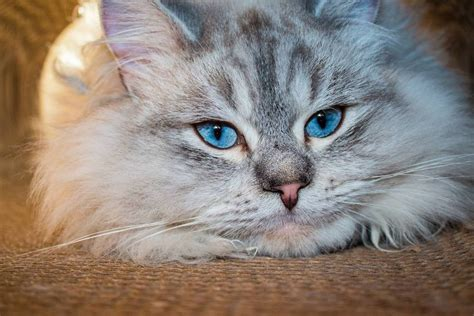 cat siberian expensive breeds rich