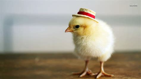 Baby Animal Wallpapers - baby chicken wallpapers baby animals