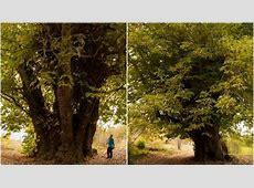 Los árboles más raros de España