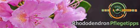 Pilze Im Garten Bodenbeschaffenheit by Rhododendron Pflegetipps Schneiden Pflanzen Krankheiten