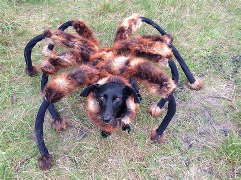 araign馥 dans la chambre un chien déguisé en araignée géante chambre237