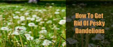 how to get rid of dandelions how to get rid of pesky dandelions o neill landscape group