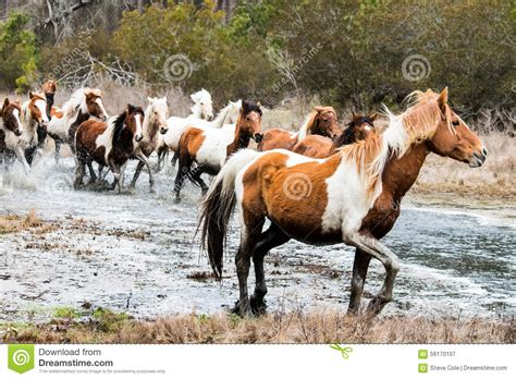 chincoteague wild ponies being preview herd