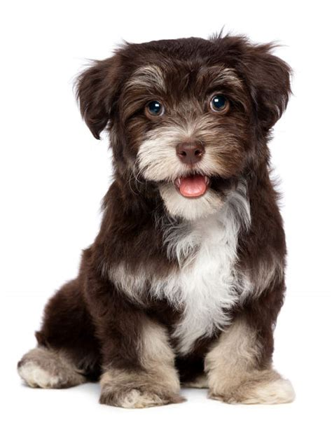 havanese dogs breed information omlet