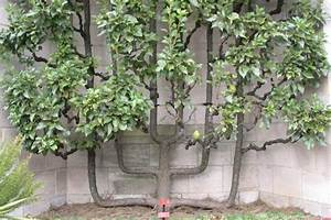 Tailler Les Kiwis : petit manuel de la taille des arbres ~ Farleysfitness.com Idées de Décoration