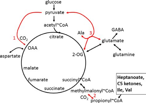 Enzymatic Cycle Diagram by Simplified Tca Cycle And Anaplerosis In Cns And