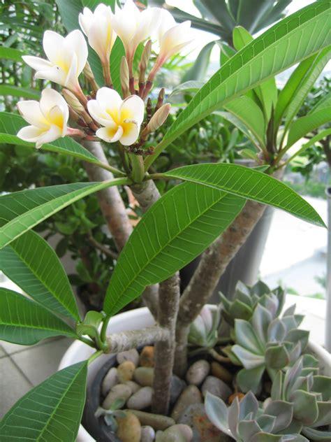 plumeria tree frangipani tree plumeria alba jade plant crassula ovata money trees plumeria