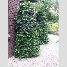 32 Best Hedera Creations Images On Pinterest Dutch