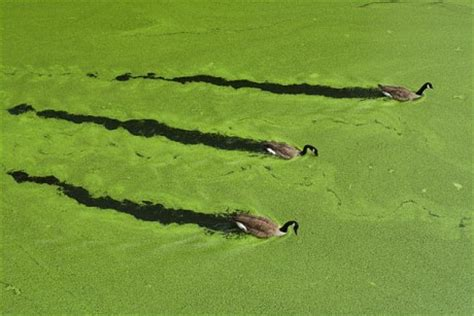 pea soup   pond green algae serenity water gardens