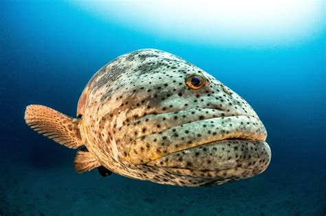 grouper goliath endangered florida critically protect save ocean killing mission global