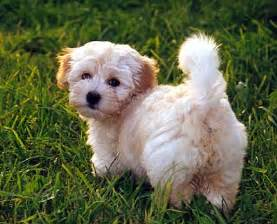 havanese top dogs and puppies