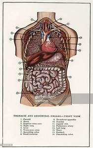 Chest Anatomy Organs