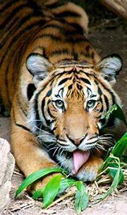 Christopher the Tiger | Christopher the Tiger | Flickr