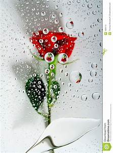 Red rose in water drops 1 stock image. Image of floral ...