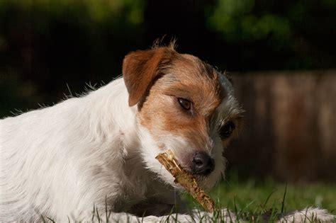 futter inhalte parson jack russell terrier