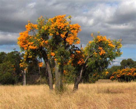 gardensonline nuytsia floribunda