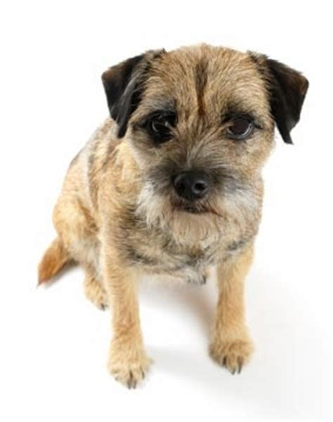28 best images about border terrier on pinterest my