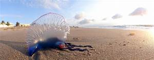 Everything You Should Know About The Portuguese Man Of War