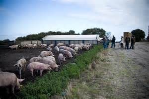 Commercial Pig Farming Outdoors