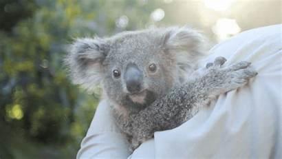 Zoo Animals Koala Diego San Adorable Giphy