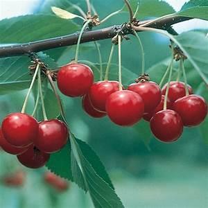 North Star Pie Cherry - Cherry Trees