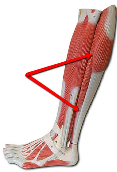 muscles   leg flashcards  proprofs