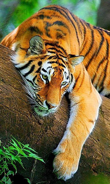 Siberian Tiger This Cute Awesome Beautiful Rich