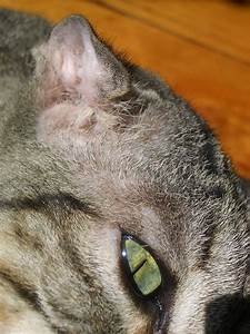 Ear Hematoma | What Are They and How Do Pets Get Them ...