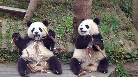 happy thanksgiving pics  panda toddlers devouring